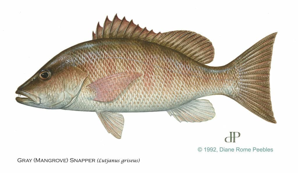 mangrove snapper file
